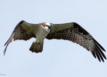 Osprey-Flight-1
